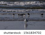 Stock photo a closeup shot of a beautiful european herring gull walking on the ocean shore and its flock in the 1561834702
