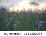 Purple Verbena Flower With...