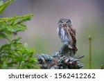 Perching Pygmy Owl (Glaucidium passerinum) in forest