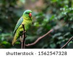The Blue Naped Parrot ...