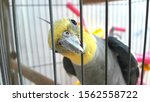 Cockatiel Or Cockatiel Is A...