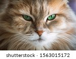 Muzzle Of Beautiful Cat With...