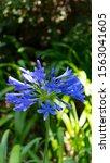 Agapanthus  Beautiful Blue...