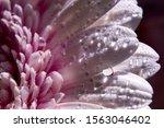 Pink Purple Gerbera Flower With ...