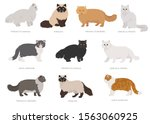 persian longhaired type cats.... | Shutterstock .eps vector #1563060925