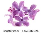 Lilac Flowers Bunch Isolated O...