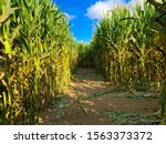Corn Maze With Ultra Blue...