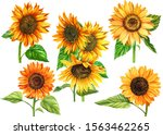 Set Of Sunflowers On A White...