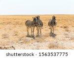 Three Zebra\'s Looking Into The...