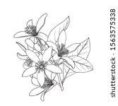 citrus flowers branch. neroli... | Shutterstock .eps vector #1563575338