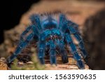 Blue Tarantula Resting On A...