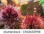 Spiny  Globular Red Sea Urchin...