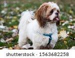 Cute Shih Tzu Puppy In The Park