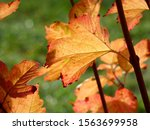 Colorful Leaves Of Guelder Rose ...