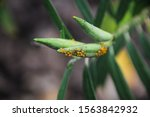 Aphids On A Milkweed Plant In A ...