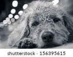 very poor strays dog in... | Shutterstock . vector #156395615