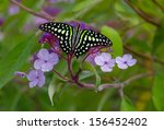 A Tailed Jay Butterfly ...