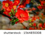 Red Flowers Of Chaemnomeles...