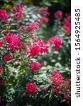 Pink Verbena Flowers. Flowers...