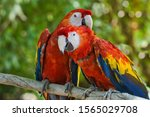Portrait Of Two Scarlet Macaws...