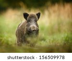 Wild Boar Walking Through Dead...