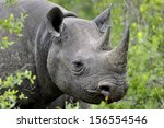 Black Rhinoceros In Thick...