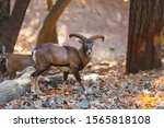 Wild Moufflon In Autumn Forest  ...