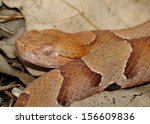 Small photo of Snake head -close up of the venomous Copperhead Snake, Agkistrodon contortrix phaeogaster