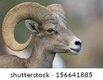 Desert Bighorn Sheep Ram...