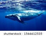 Humpback Whale   Vava'u  Tonga