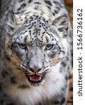 A Snow Leopard Closeup Portrait