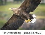 White Tail Sea Eagles On The...