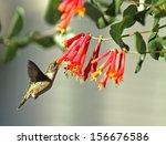 Ruby Throated Hummingbird...