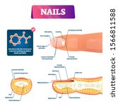 nail anatomy structure diagram  ... | Shutterstock .eps vector #1566811588