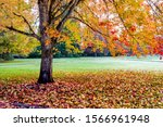 A maple tree on the Memorial OSU campus showing autumn fall colors, Corvallis, Oregon