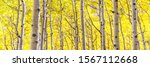 Panorama Of Aspen Forest In...