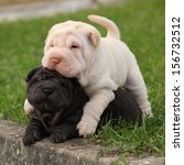 Stock photo two sharpei puppies lying together in the garden 156732512