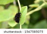Catterpillars Of California...