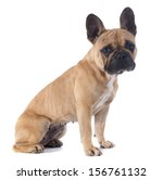 portrait of a purebred french... | Shutterstock . vector #156761132