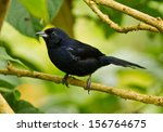 white lined tanager  ...   Shutterstock . vector #156764675