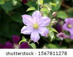 Clematis Or Leather Flower Easy ...