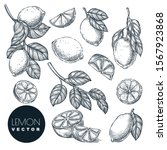 lemon citrus tropical fruits... | Shutterstock .eps vector #1567923868