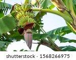 Banana Blossom On The Tree