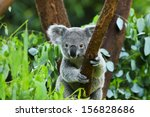koala bear in the zoo | Shutterstock . vector #156828686