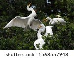 Great Egret   Ardea Alba  ...