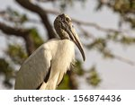 Wood Stork  Mycteria Americana...