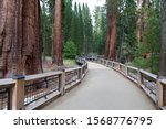 Giant sequoia specimens are the most massive trees on Earth, which occurs naturally only in groves on the western slopes of the Sierra Nevada Mountains of California. Walking path in Mariposa Grove - stock photo