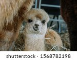 Baby Alpaca In The Farm