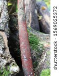Small photo of Coral spot Nectria Canker on log in woodland, England