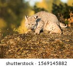Bobcat Crouching And Resting...